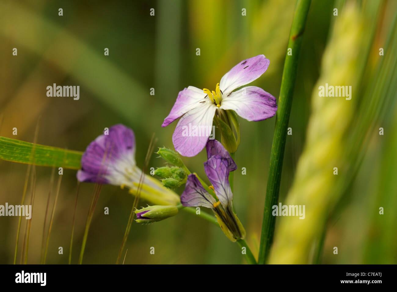 Garden Radish, raphanus sativus Stock Photo