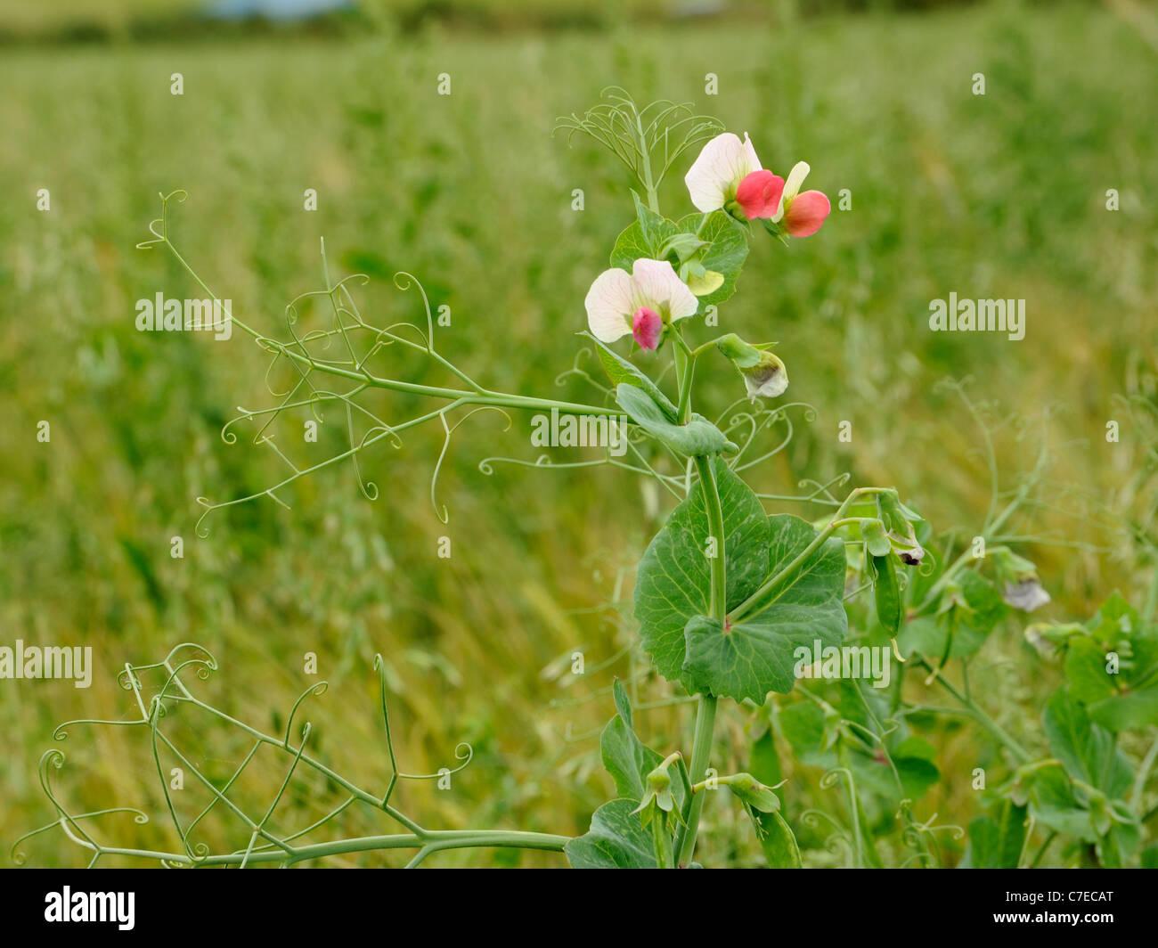 Garden Pea, pisum sativum growing as a weed in an arable field. - Stock Image
