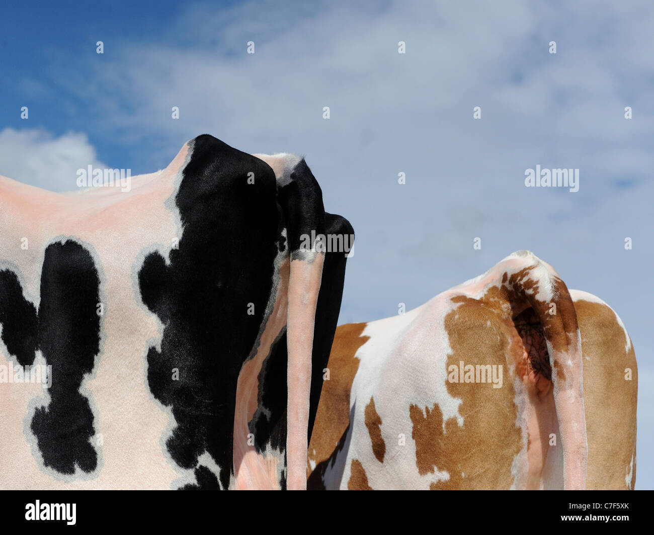 A graphic image of the rear of two cows - Stock Image