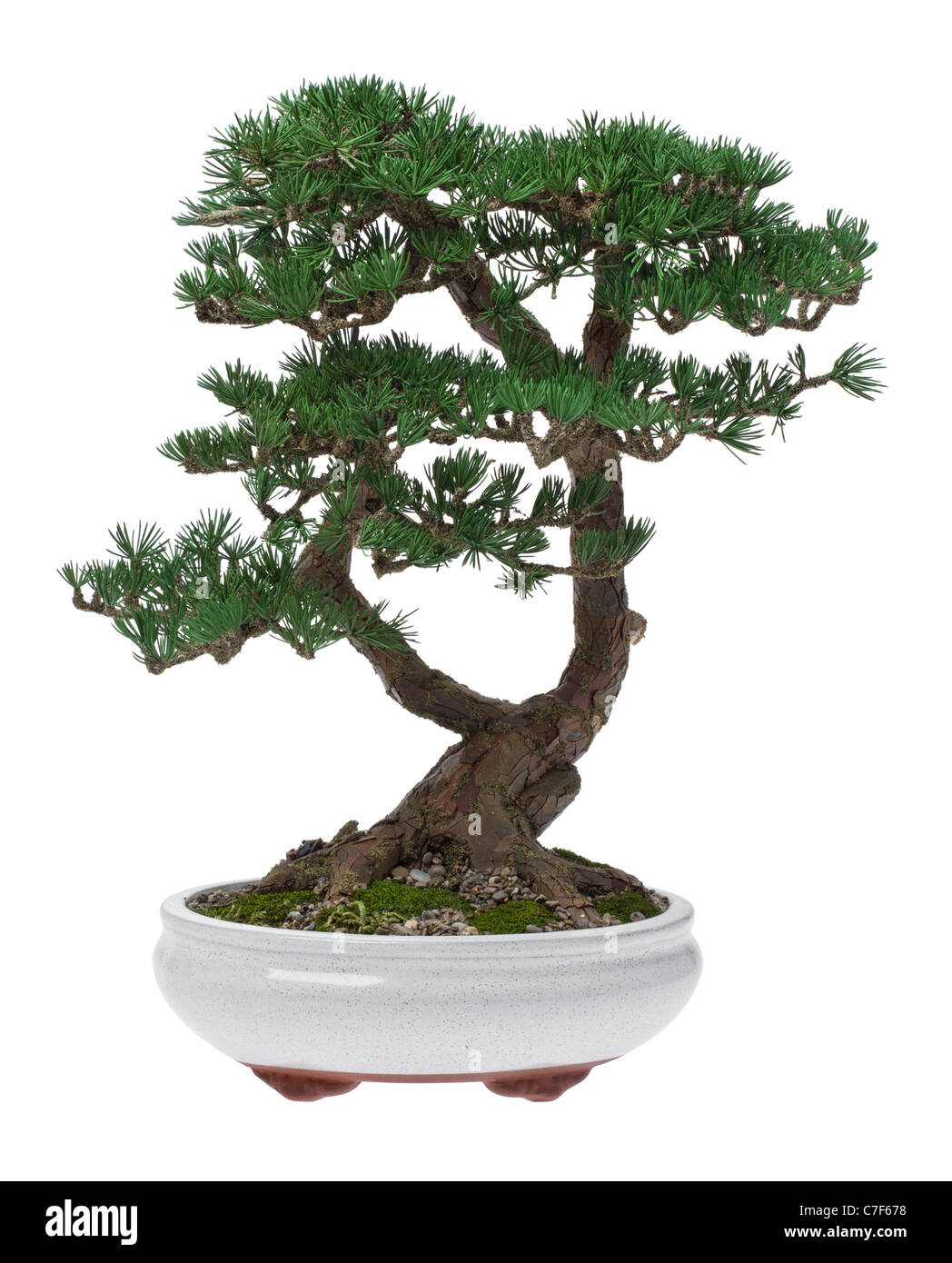 A small bonsai tree in a ceramic pot isolated on a white background a small bonsai tree in a ceramic pot isolated on a white background mightylinksfo