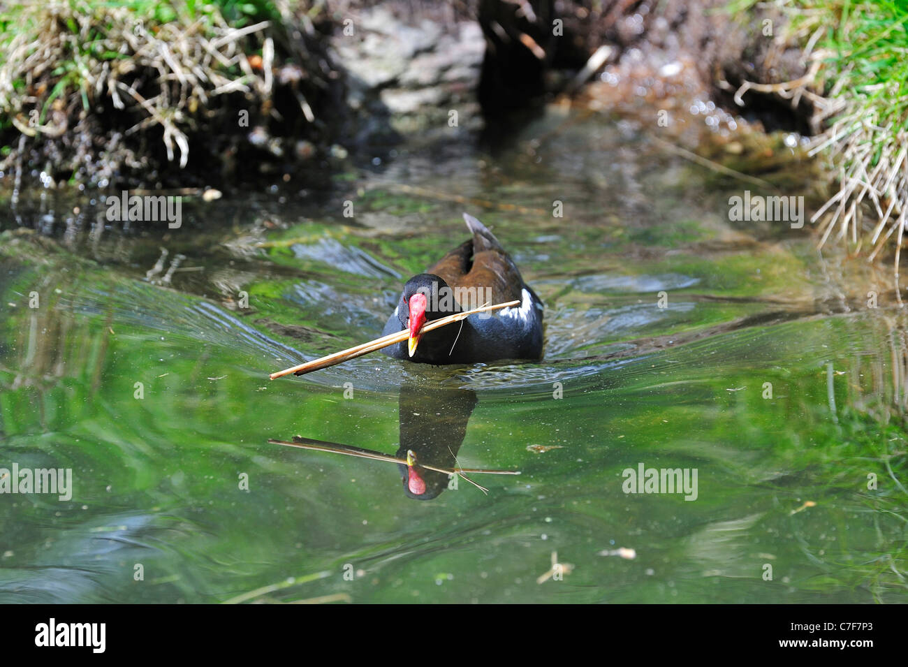 Common Moorhen / Common Gallinule (Gallinula chloropus) swimming in pond with twig in beak for nest building, Germany - Stock Image