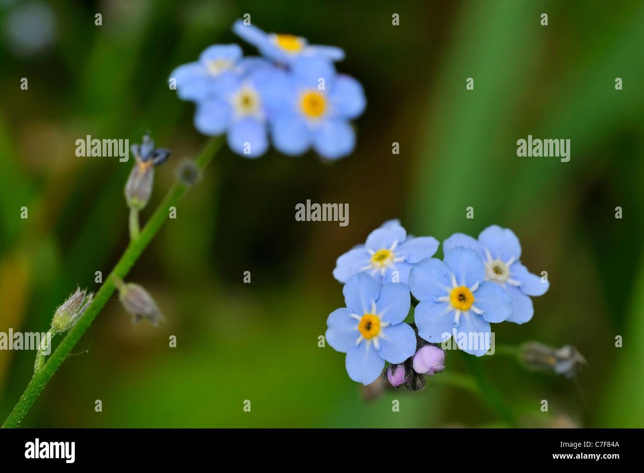 Water Forget-me-not / True Forget-me-not (Myosotis scorpioides / Myosotis palustris) in flower, Belgium Stock Photo