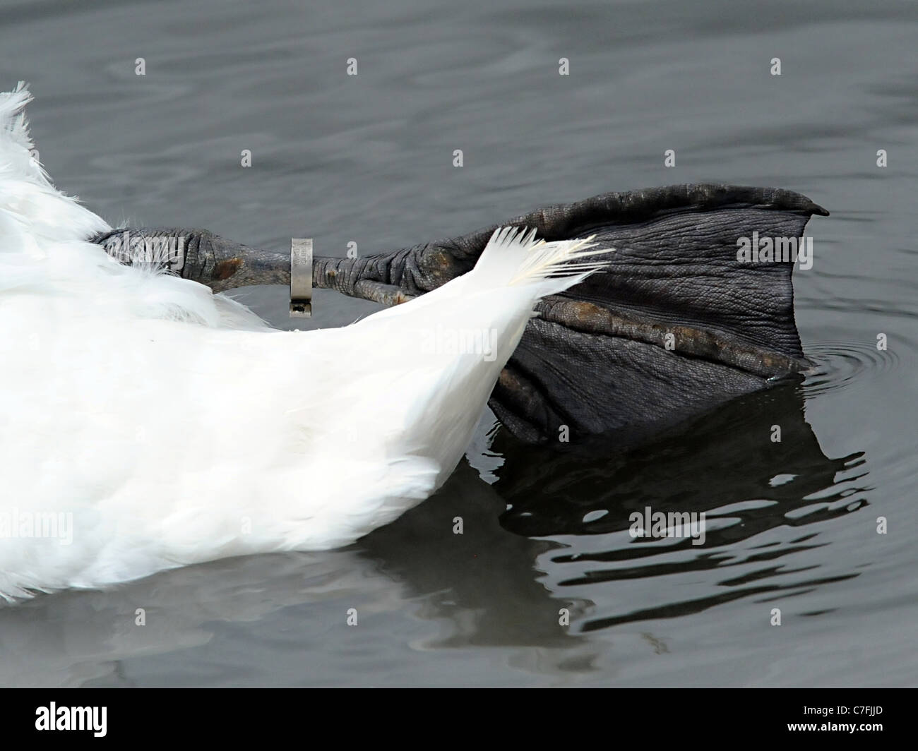 The flipper of  a swan  that has been tagged at Slimbrige World Wetland Trust. Stock Photo