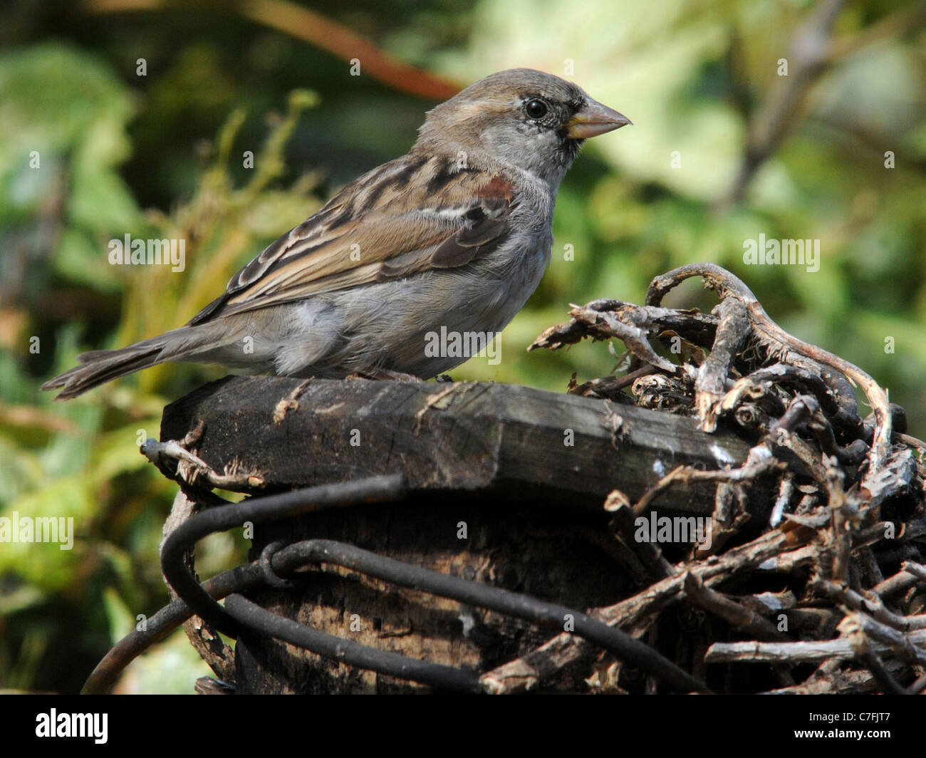 A common house sparrow nest building in an English garden - Stock Image