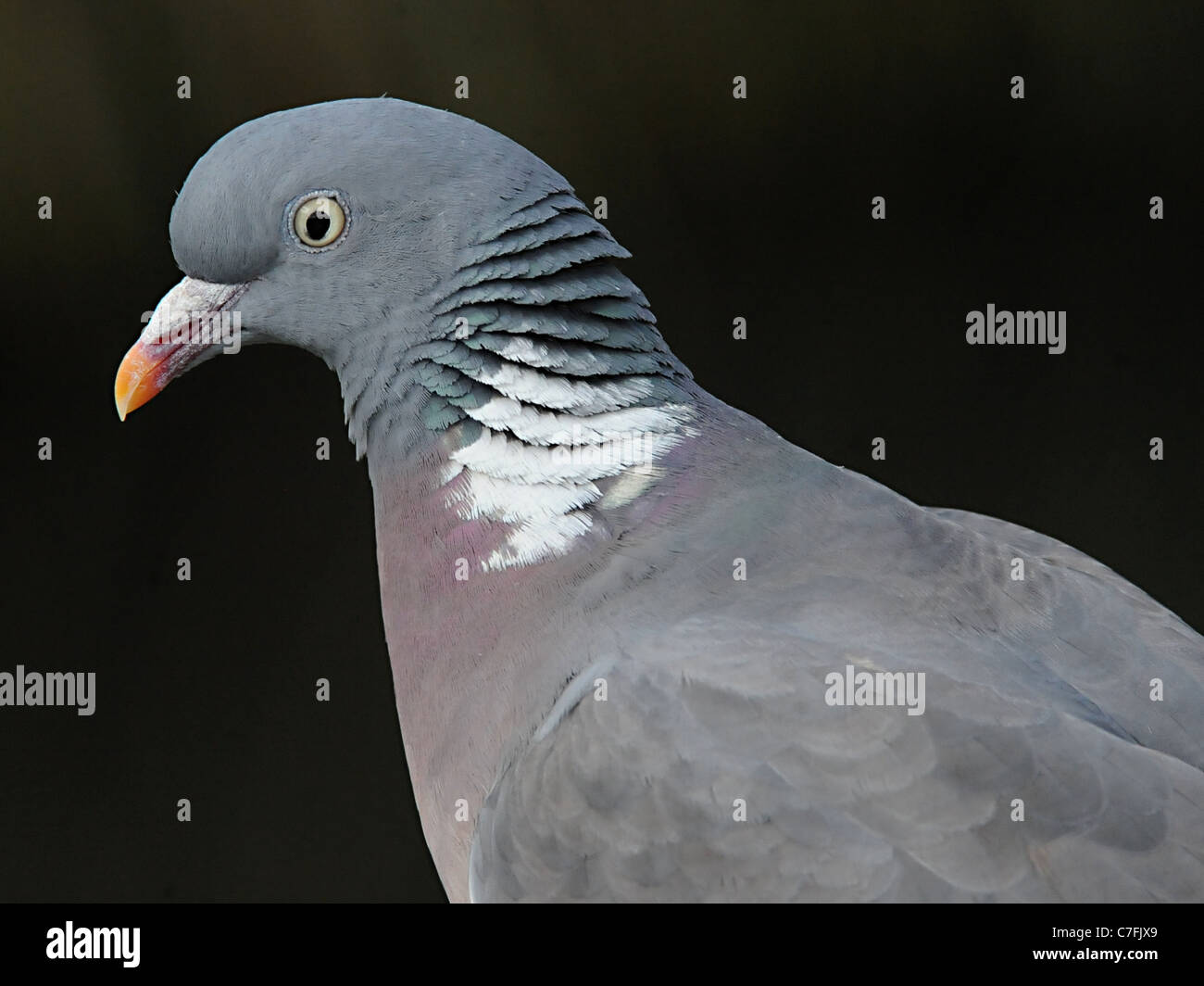 The head of a rock pigeon or rock dove - Stock Image