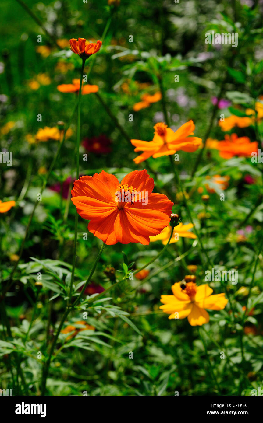Orange and yellow cosmos flowers stock photo 39067908 alamy orange and yellow cosmos flowers mightylinksfo