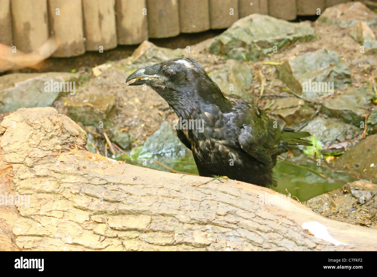 Black raven on the floor ground, picture from the ZOO - Stock Image