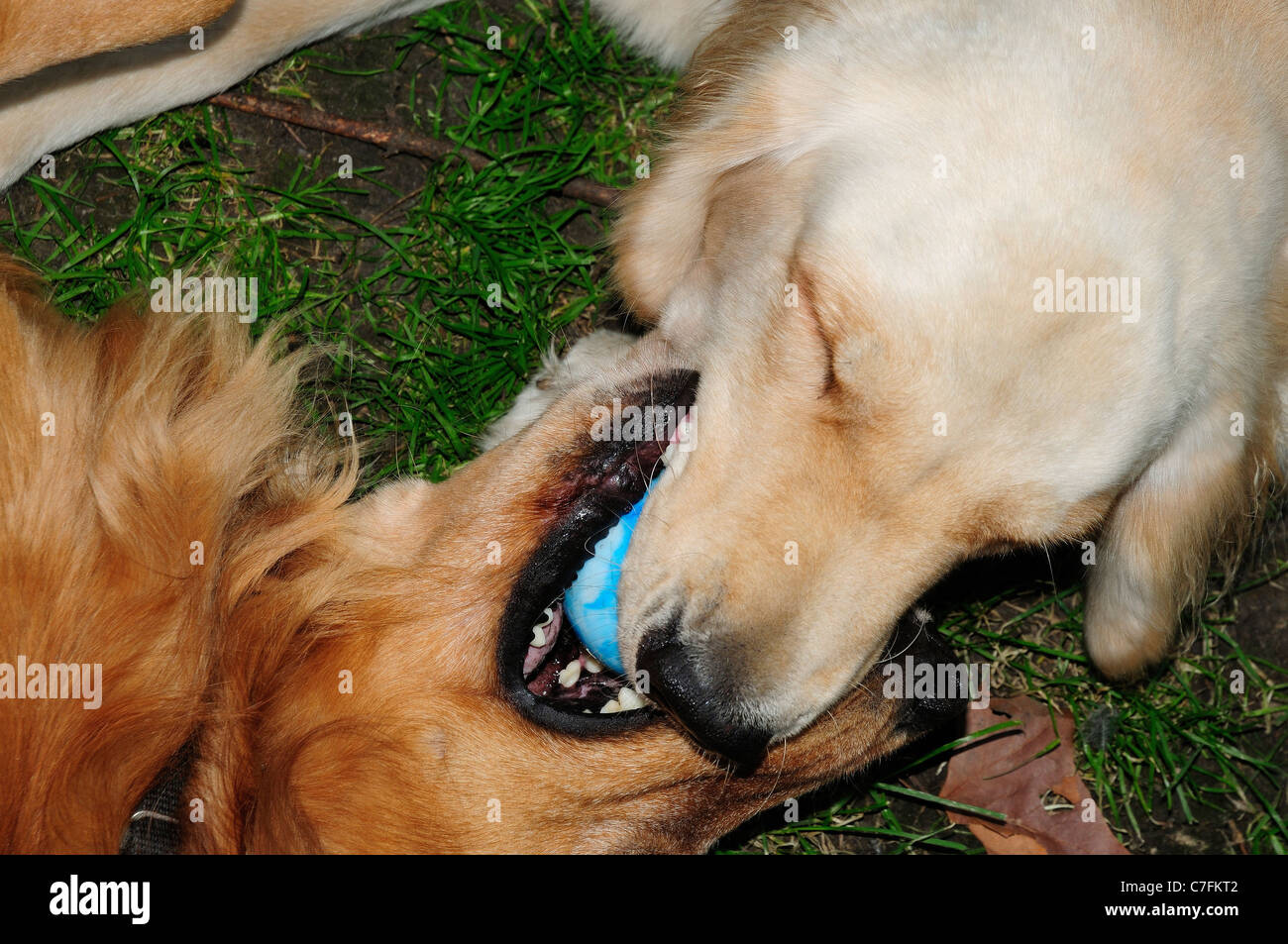 American and British-type Golden Retrievers wrestling for control of ball. - Stock Image