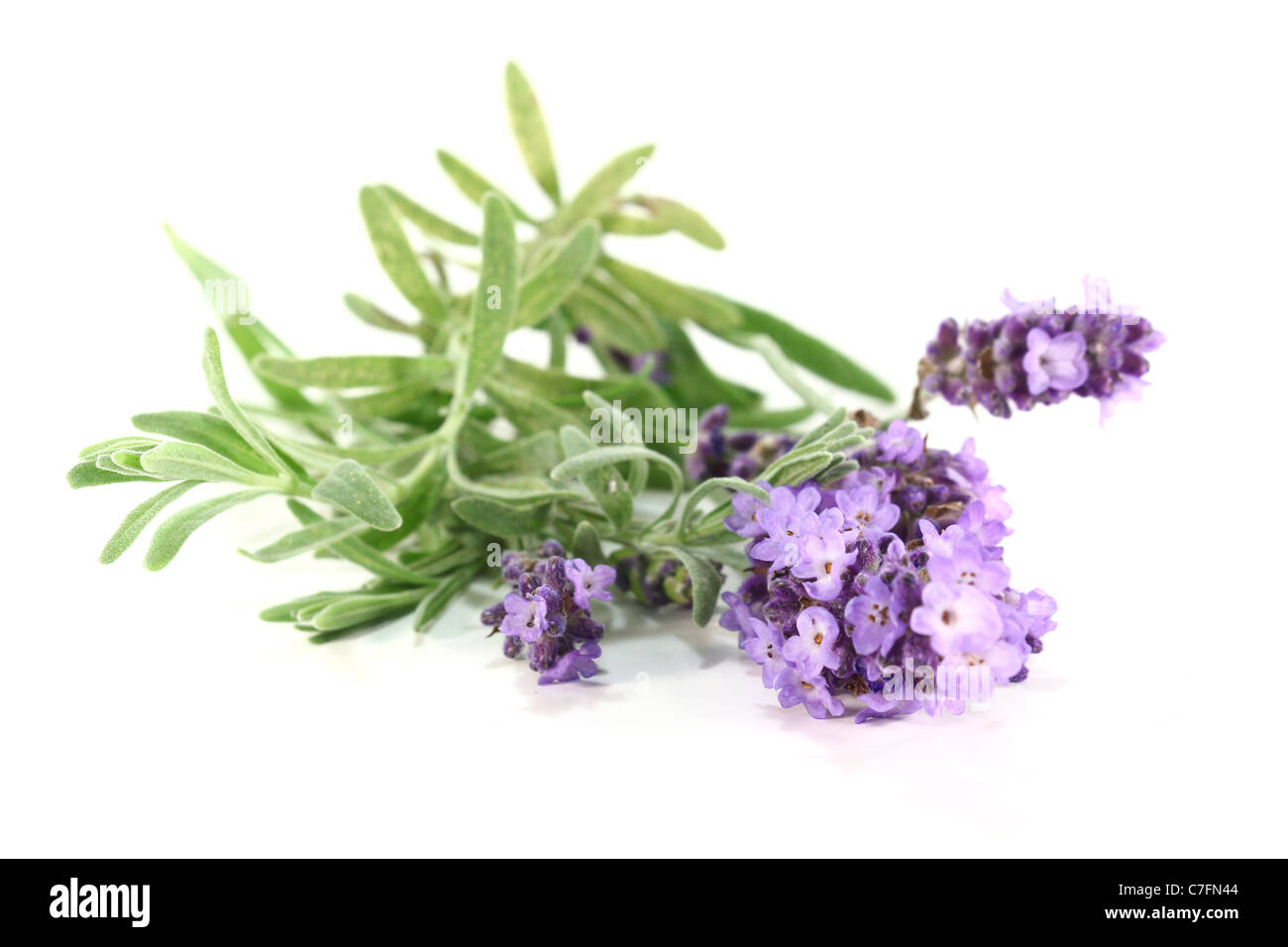 few branches with lavender flowers on a white background - Stock Image