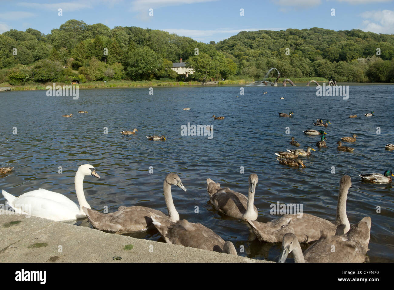 Large cygnets, a swan and ducks on Llandrindod Wells lake, Powys Wales. Stock Photo