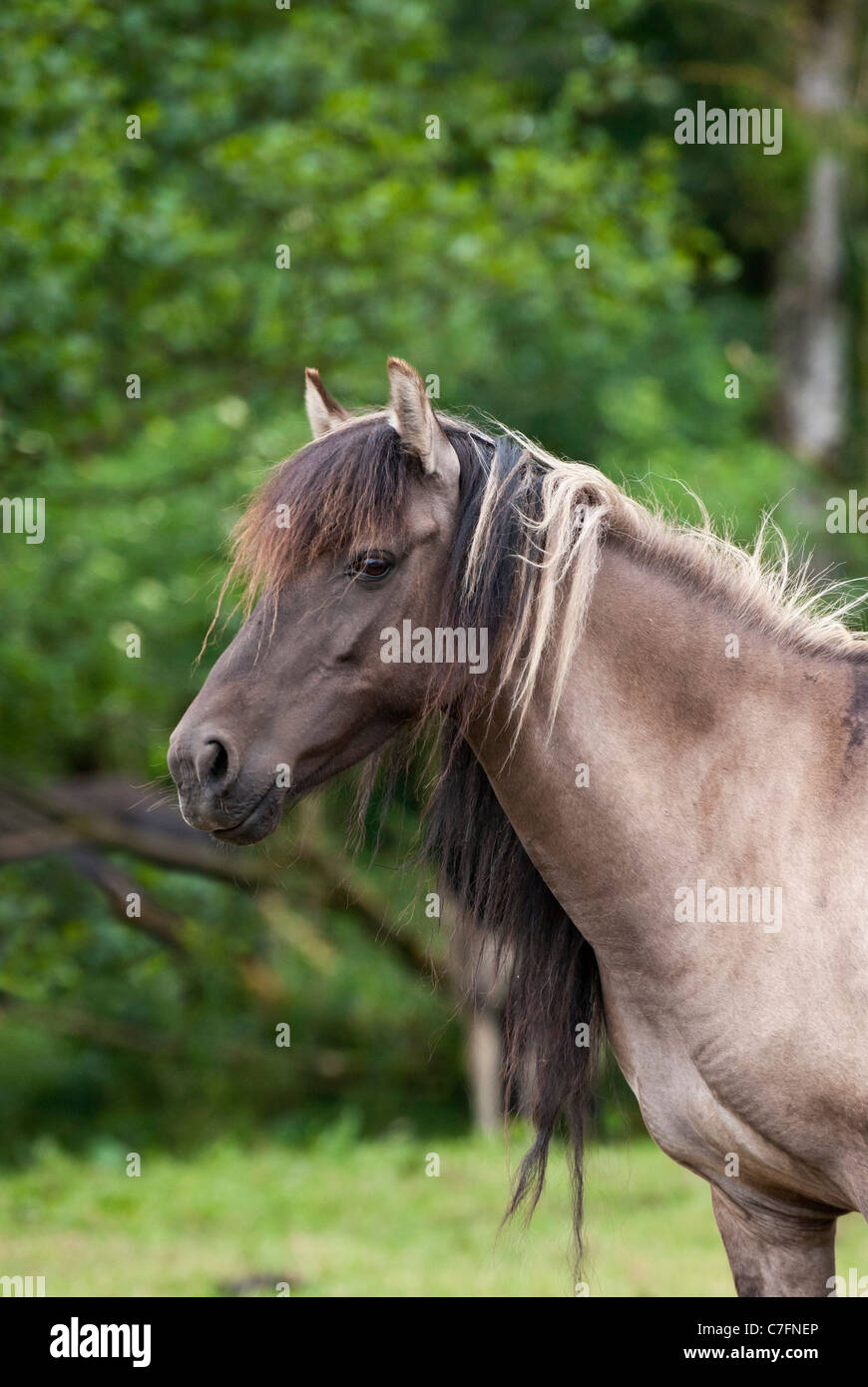 Dülmen Duelmen horse pony ponies Germany German - Stock Image
