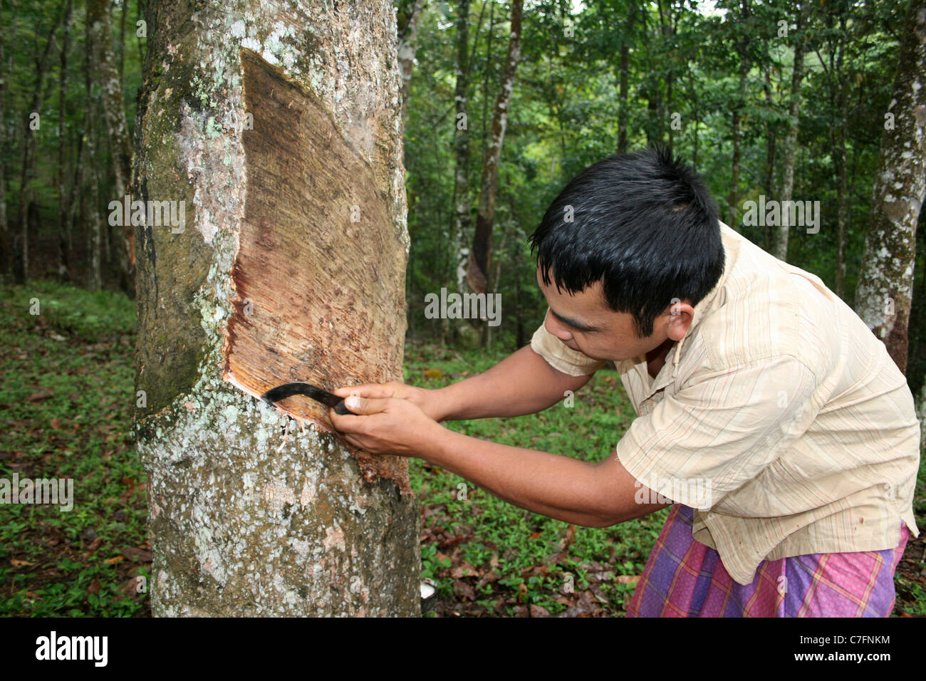 Indonesian Man Making Incision On A Rubber Tree Causing The Latex Sap To Flow: A Process Known As Rubber Tapping - Stock Image