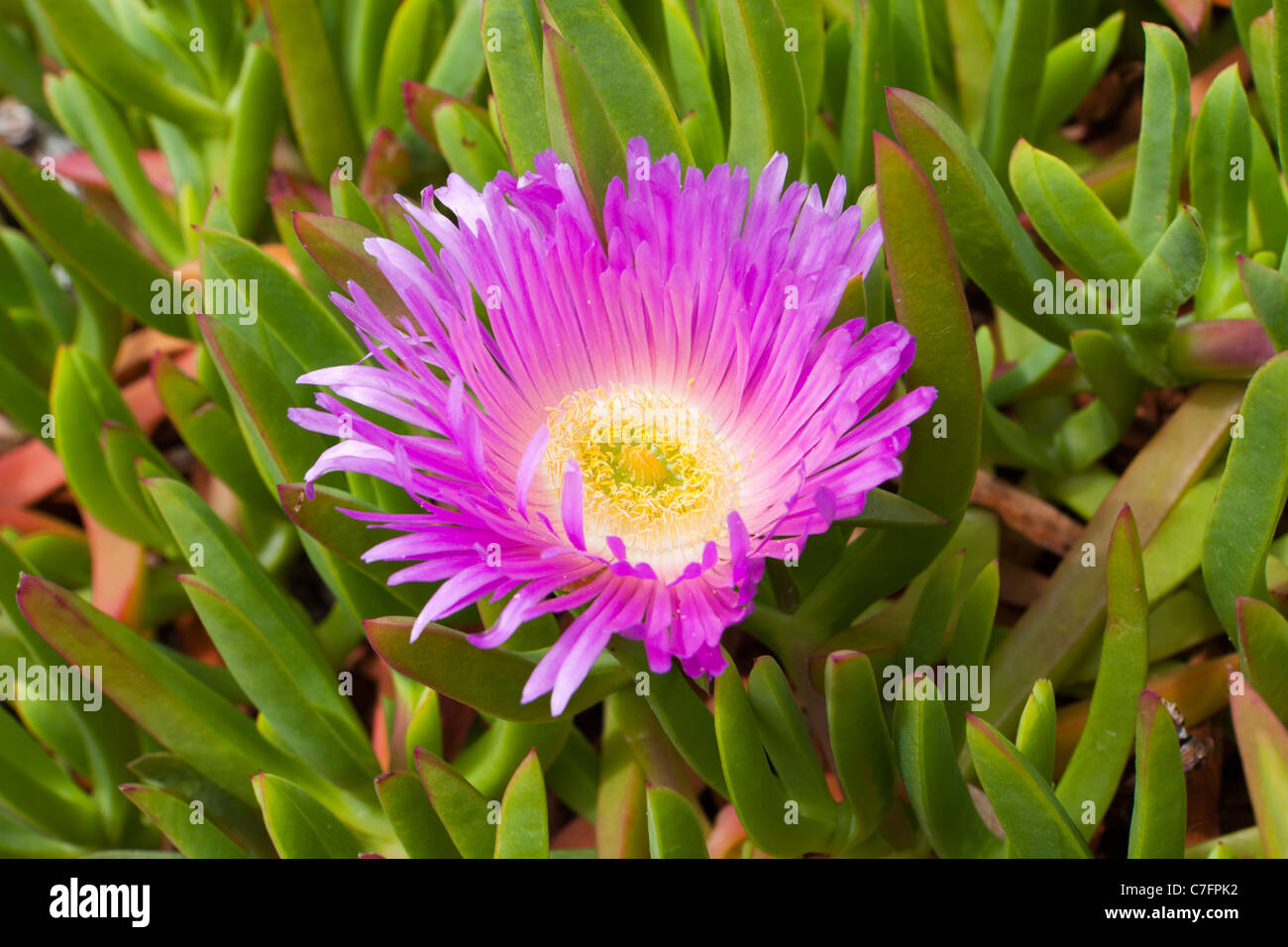 Mesembryanthemum Livingstone Daisy Hottentot Fig growing on the cliff at Fistral Bay, Newquay, Cornwall - Stock Image