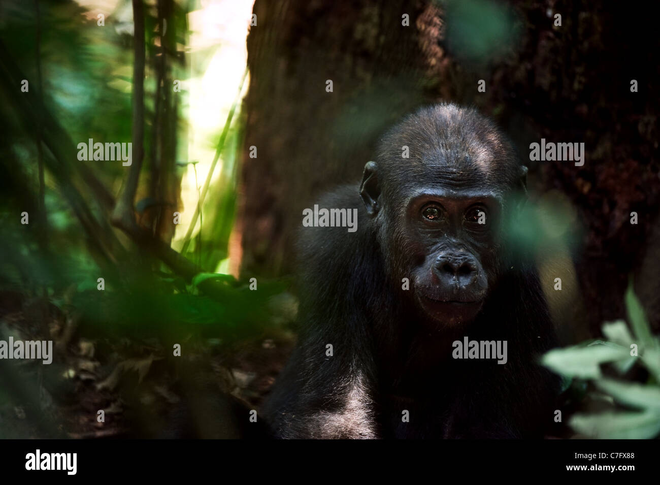 The kid of a lowland gorilla in a native habitat. - Stock Image