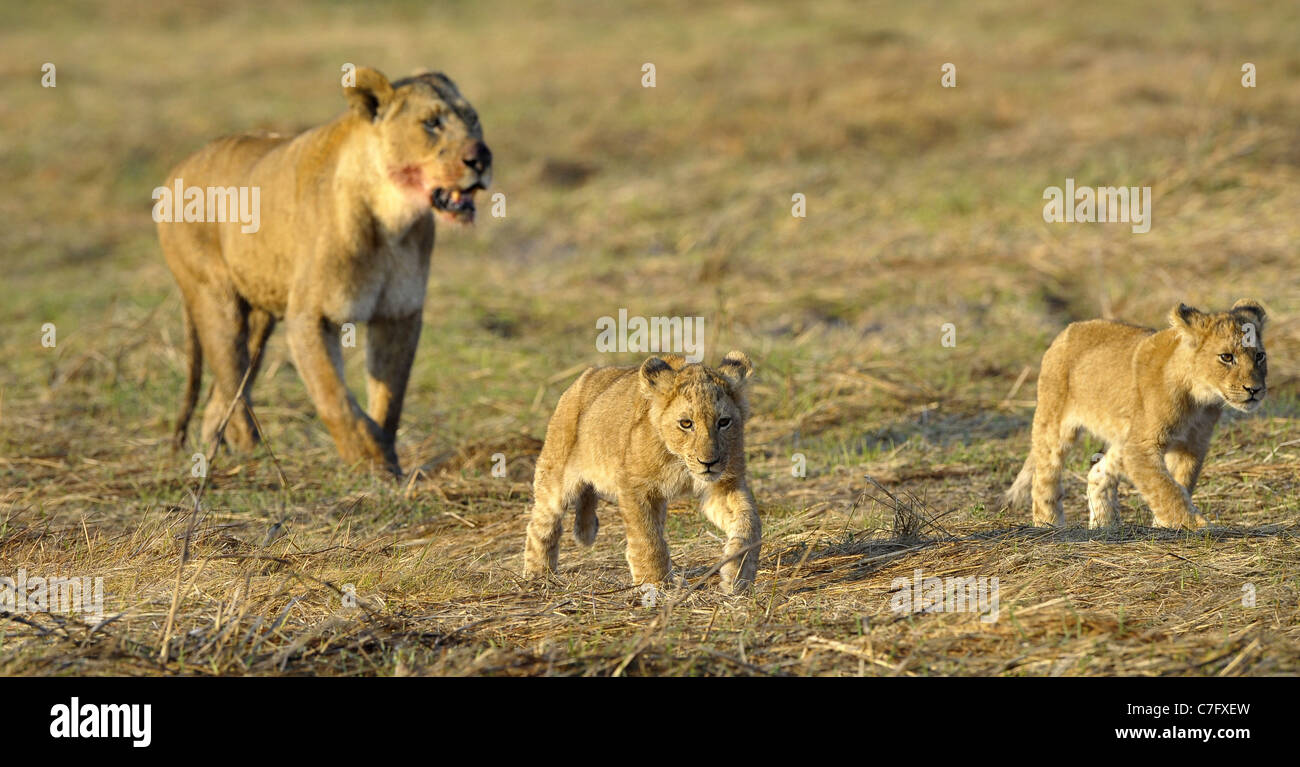 Lioness after hunting with cubs. The lioness with a blood-stained muzzle has returned from hunting to the kids to - Stock Image