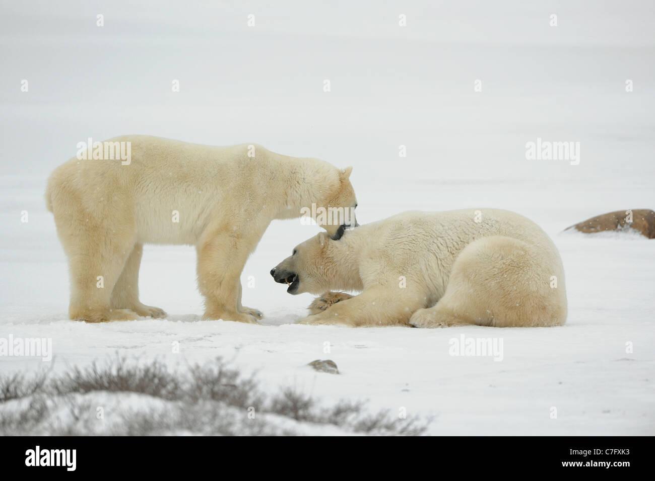 Entertainments of polar bears. Two polar bears struggle on snow. - Stock Image