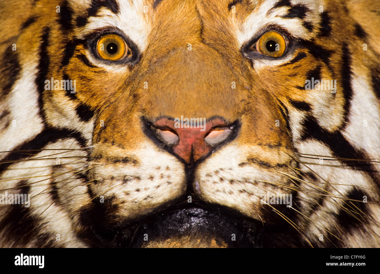 A close up portrait of a bengal tiger - Stock Image