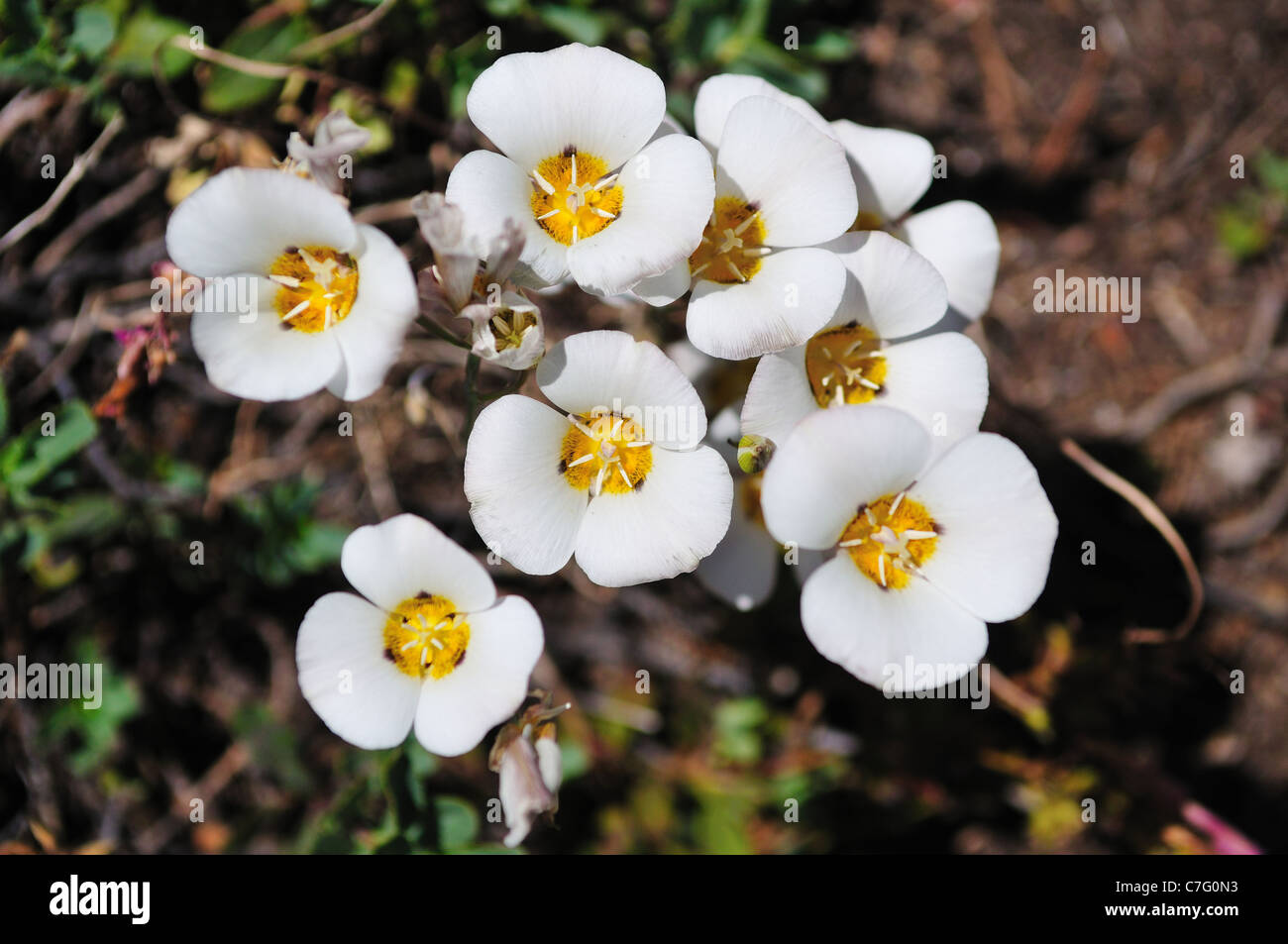 A Cluster Of Mariposa Lilies Blooming In The Wild Yosemite National