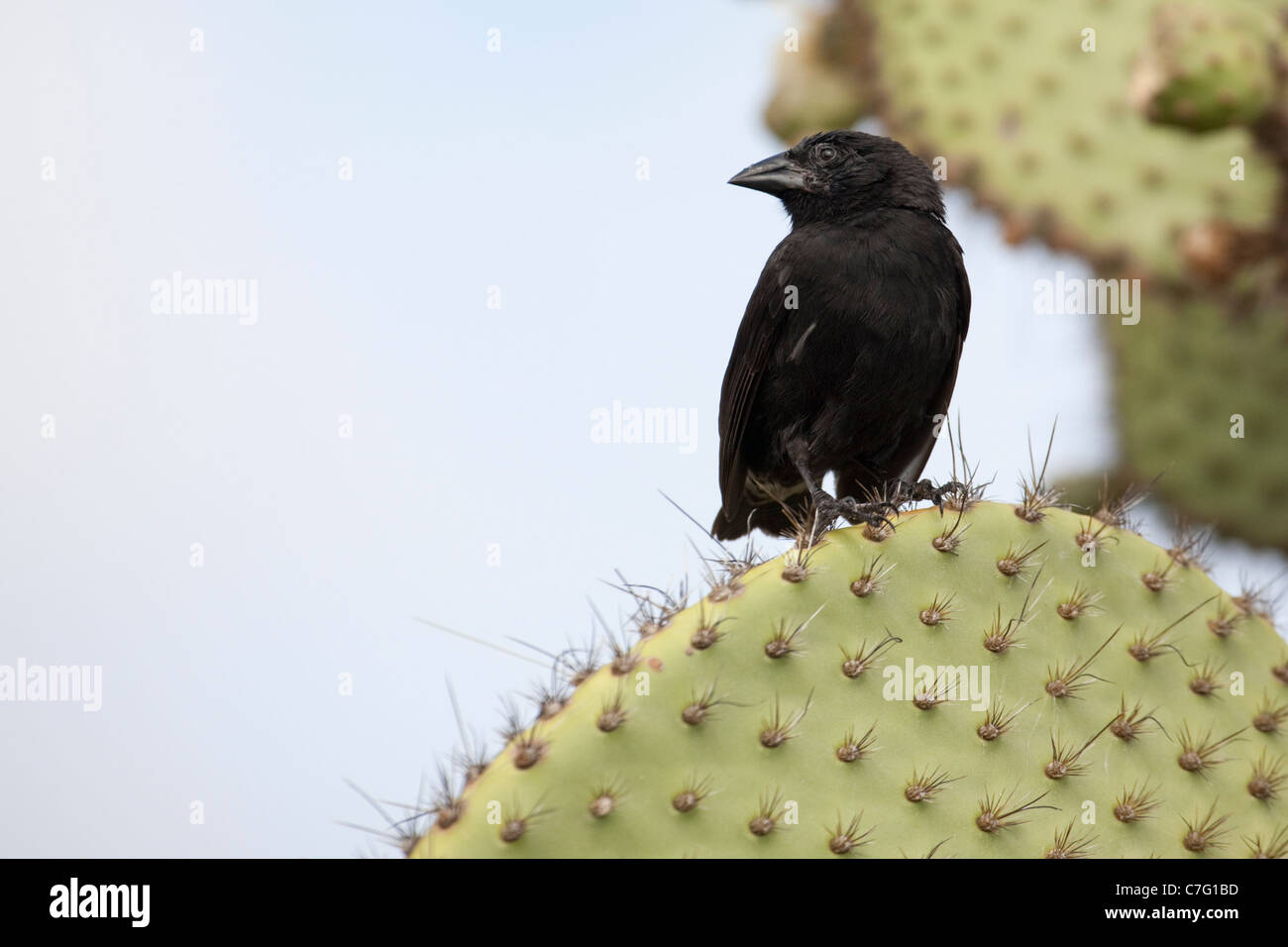 Male Common Cactus Finch (Geospiza scandens) perching on Opuntia cactus - Stock Image