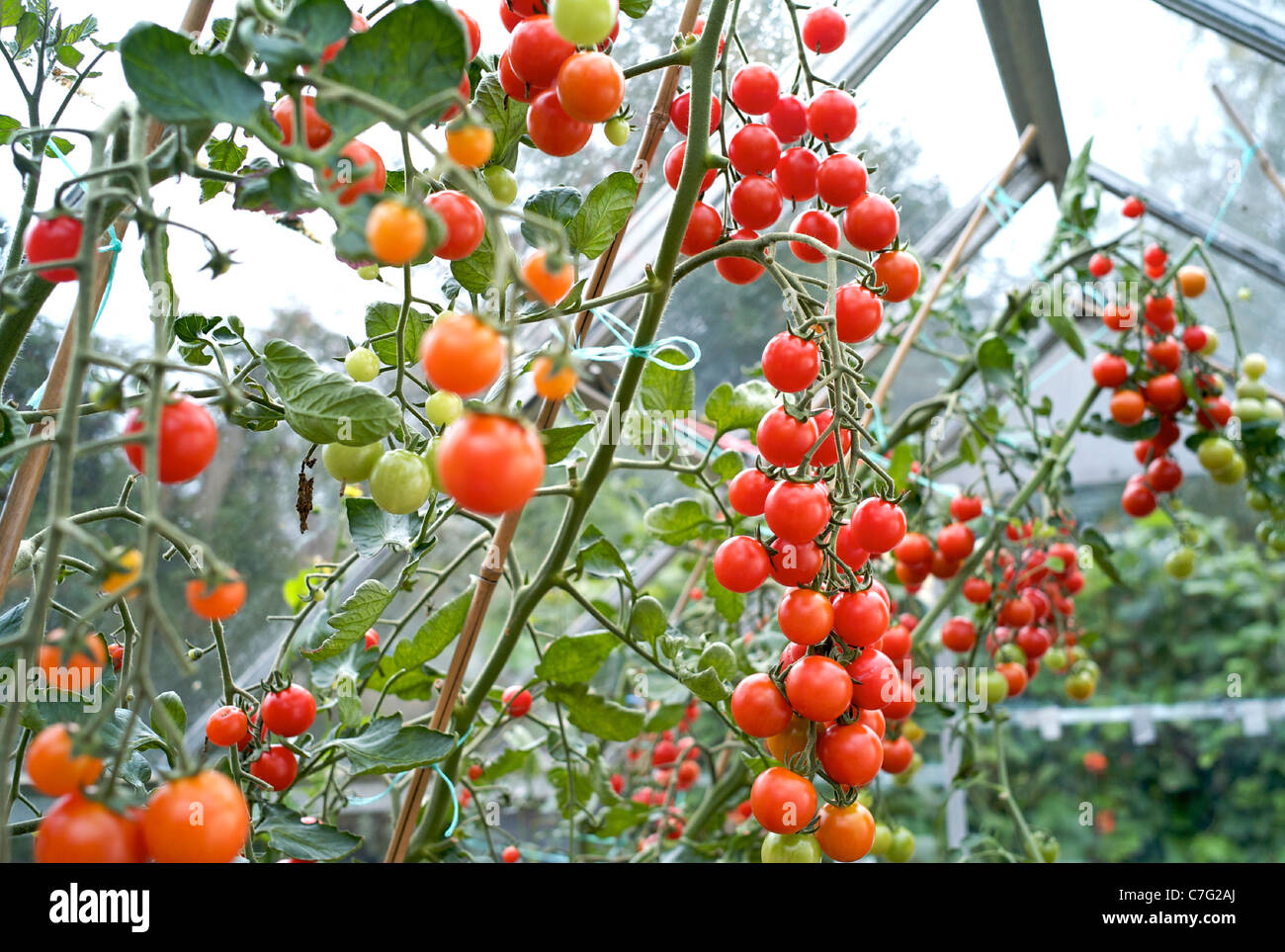 Tomato Growing Growing Vine Tomatoes