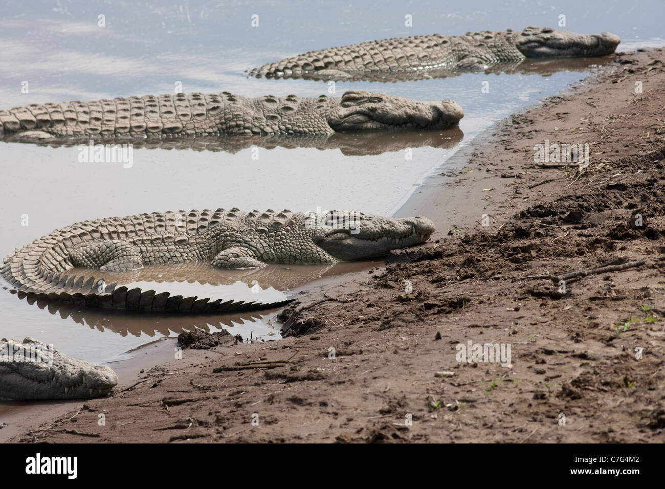 Crocodiles in The Masai Mara National Reserve Kenya Africa. Photo:Jeff Gilbert - Stock Image