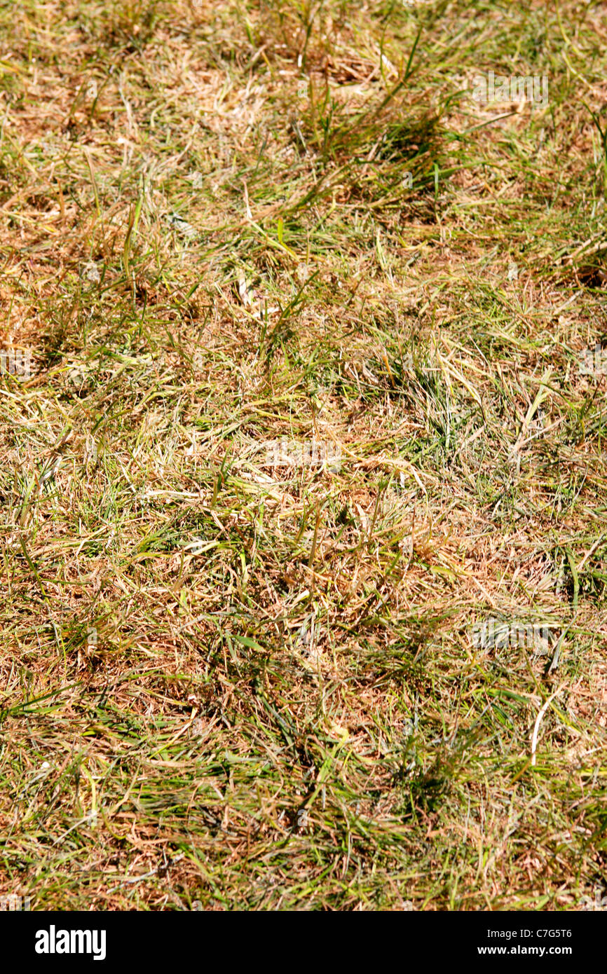 Straw like grass during the spring drought in Florida - Stock Image