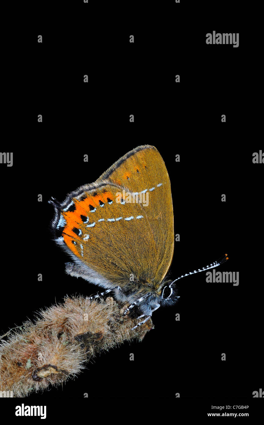 Black Hairstreak Butterfly (Satyrium pruni) adult at rest on twig, UK - Stock Image