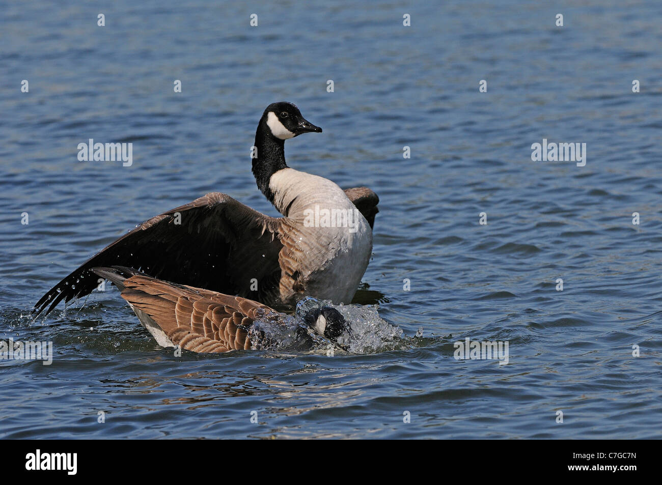 Canada Goose (Branta canadensis) pair in water, washing and stretching after mating, Oxfordshire, UK - Stock Image