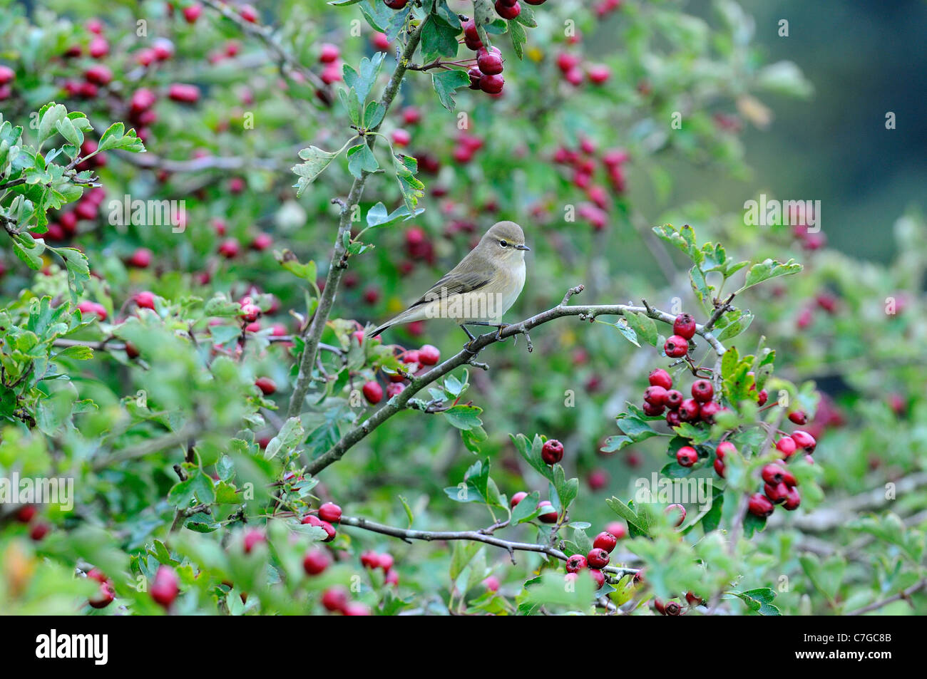 Chiffchaff (Phylloscopus collybita) perched in hawthorn tree, Devon, UK - Stock Image