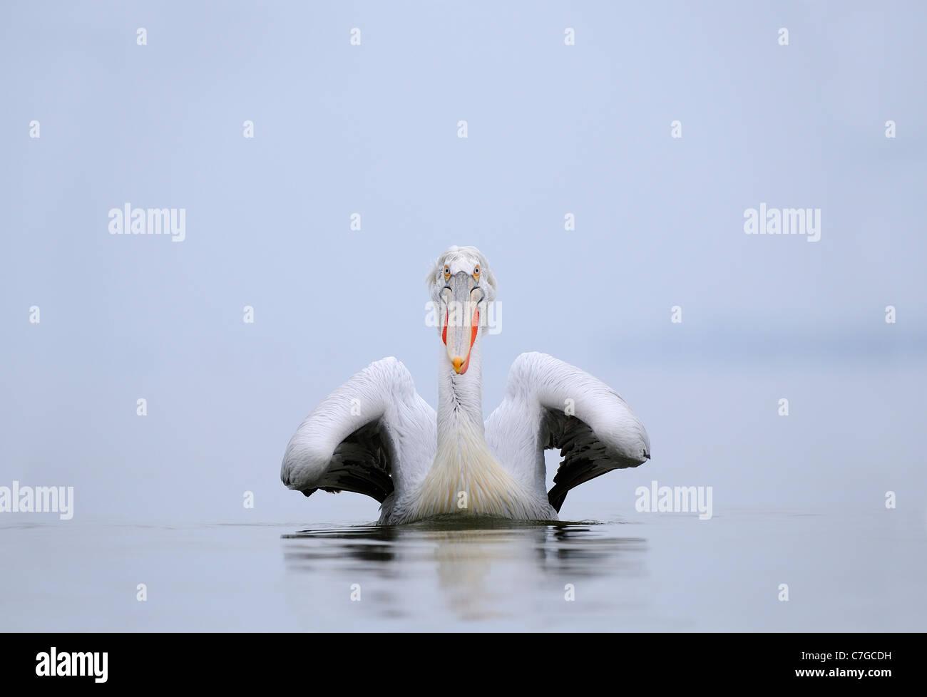 Dalmatian Pelican (Pelecanus crispus) swimming, adult in breeding plumage, Lake Kerkini, Greece - Stock Image
