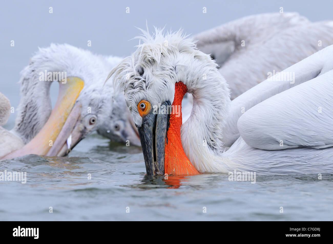 Dalmatian Pelican (Pelecanus crispus) adult and juvenile feeding in water, Lake Kerkini, Greece - Stock Image