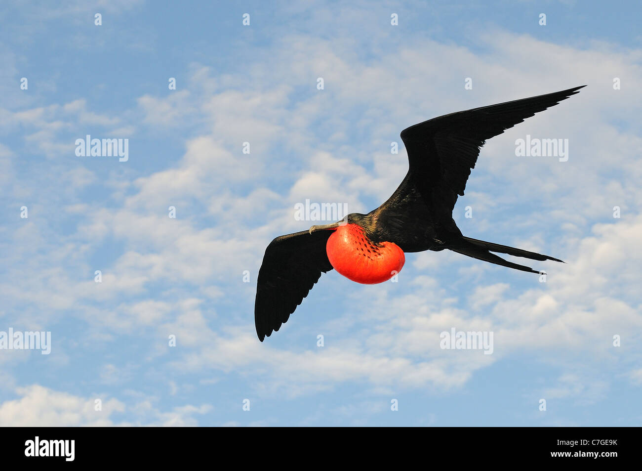 Magnificent Frigatebird (Fregata magnificens) in flight with inflated gular pouch, Galapagos Islands, Ecuador - Stock Image