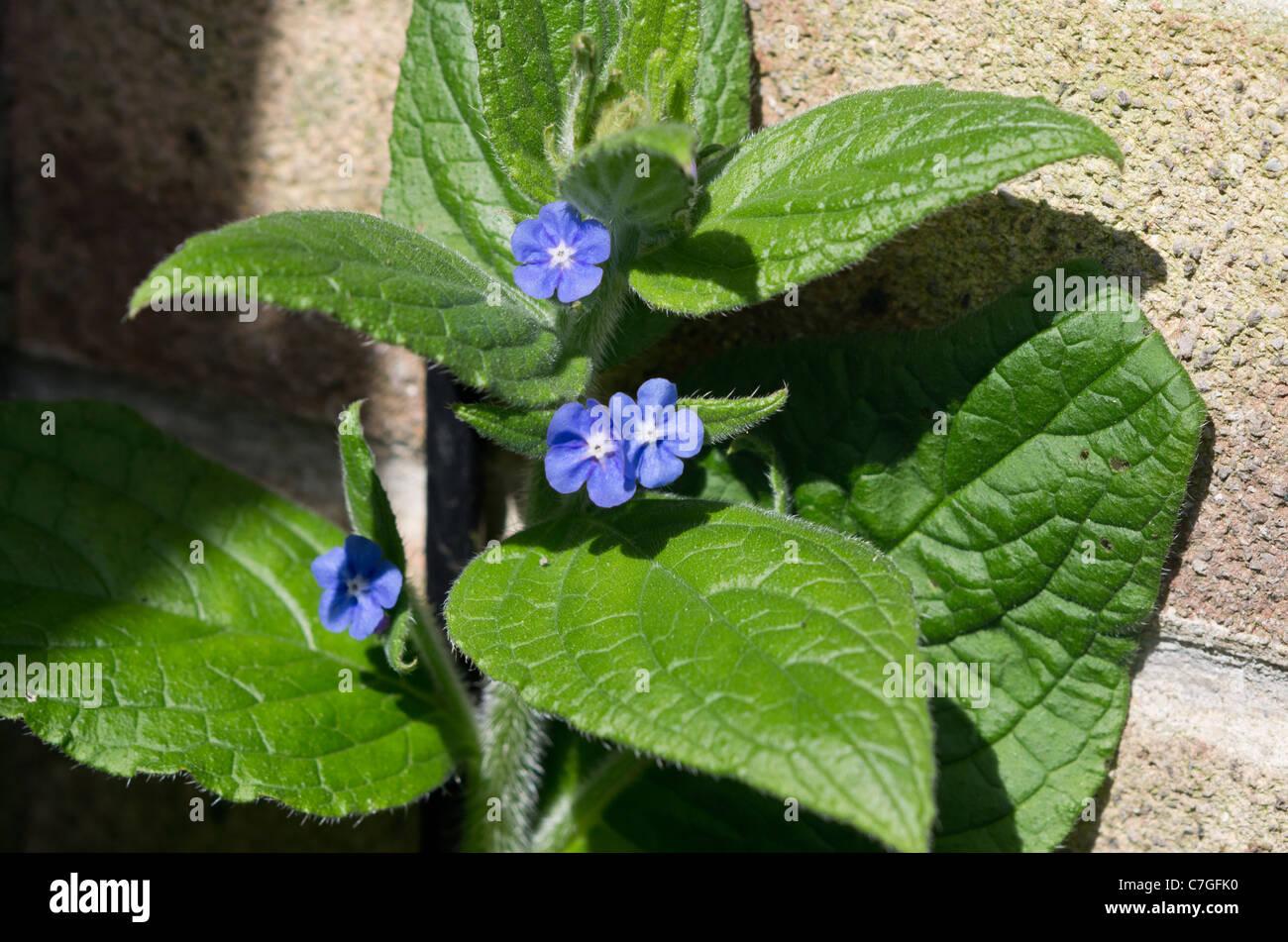 Pentaglottis sempervirens green alkanet, evergreen bugloss or alkanet - Stock Image