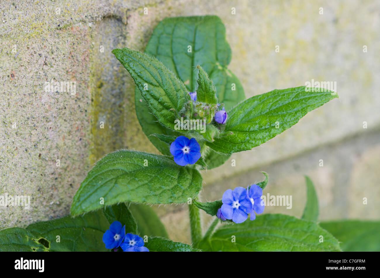Pentaglottis sempervirens - Stock Image