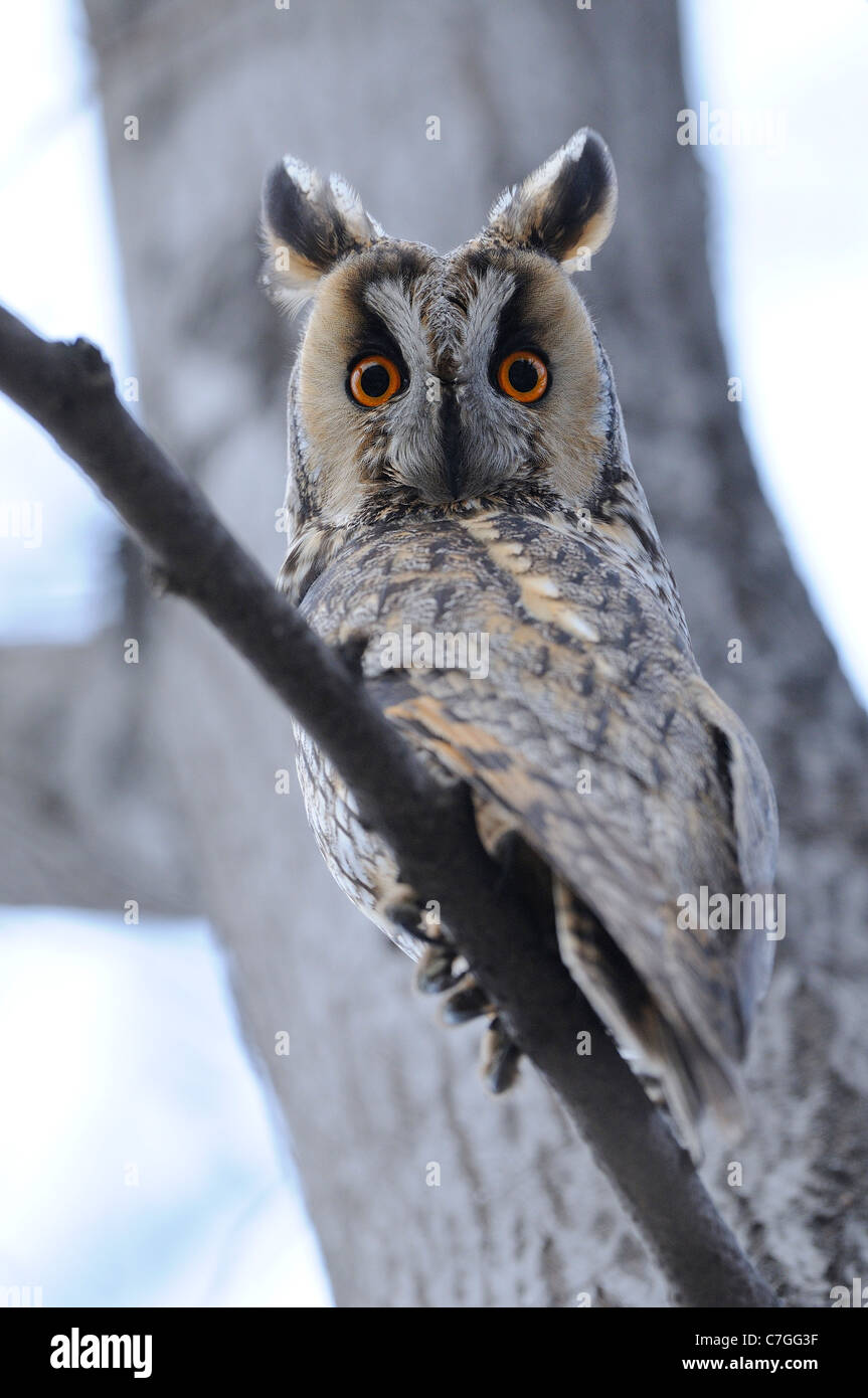 Long-eared Owl (Asio otus) perched in daytime roost, Bulgaria - Stock Image