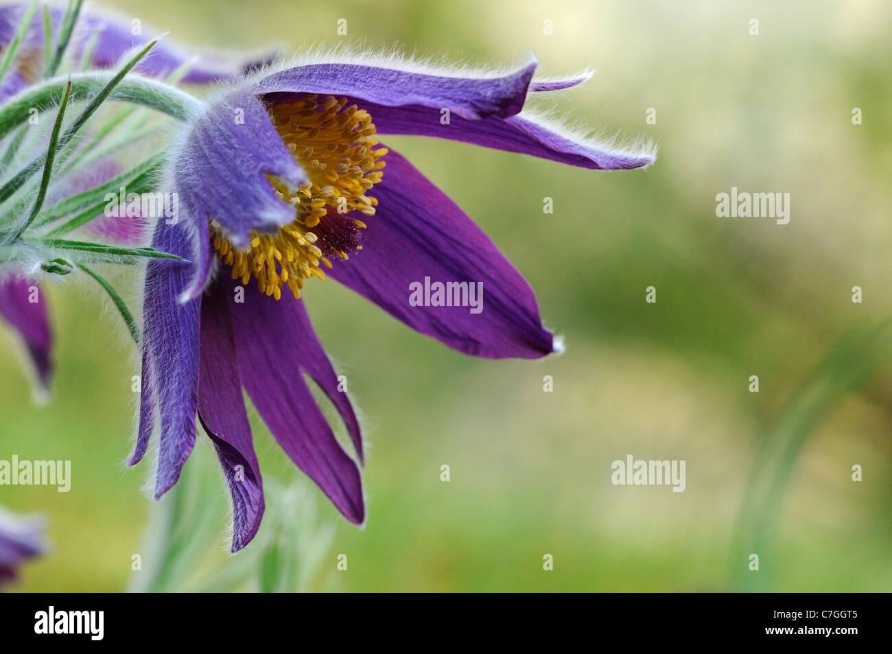 Pulsatilla or Pasque Flower (Pulsatilla vulgaris) Oxfordshire, UK - Stock Image