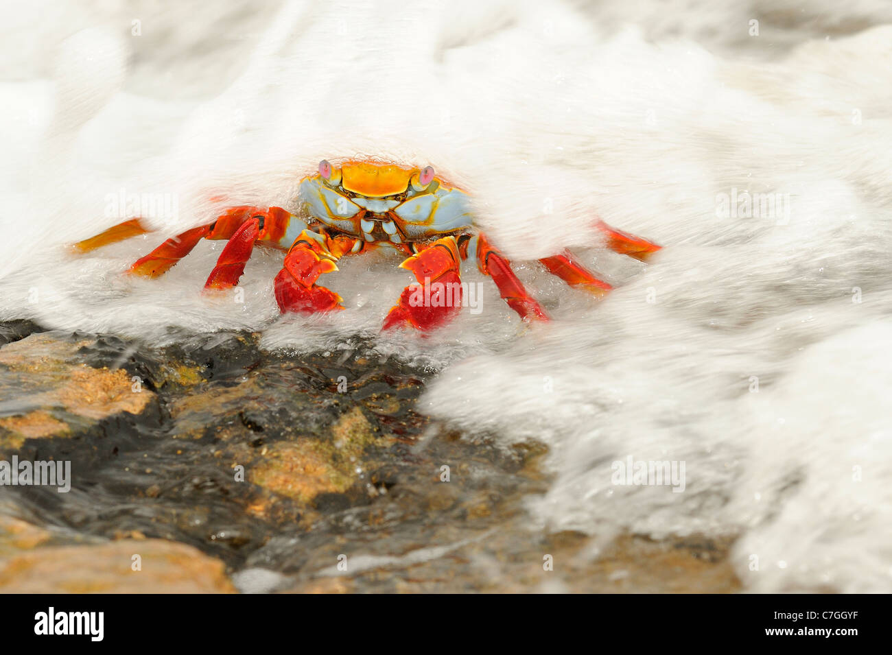 Sally Lightfoot Crab (Grapsus grapsus) with sea water flowing over it, Galapagos Islands, Ecuador - Stock Image