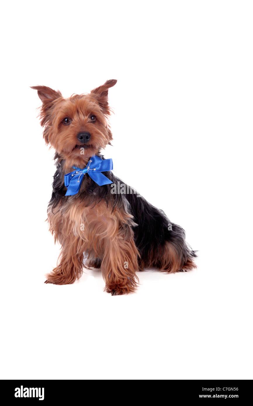 Yorkshire Terrier - Stock Image