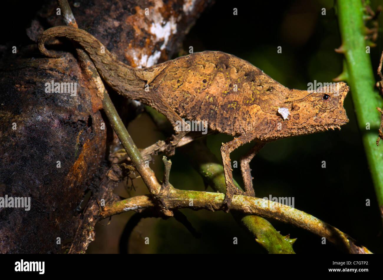 Mini smallest Chameleon Chamäleon BROOKESIA madagascar standing upright wild wildlife wilderness animal ground - Stock Image