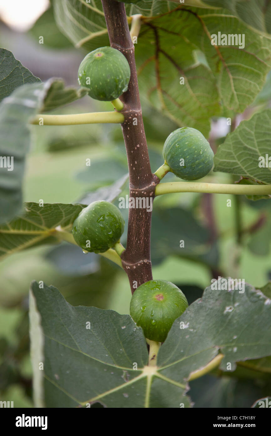 Detail of figs growing on a tree - Stock Image