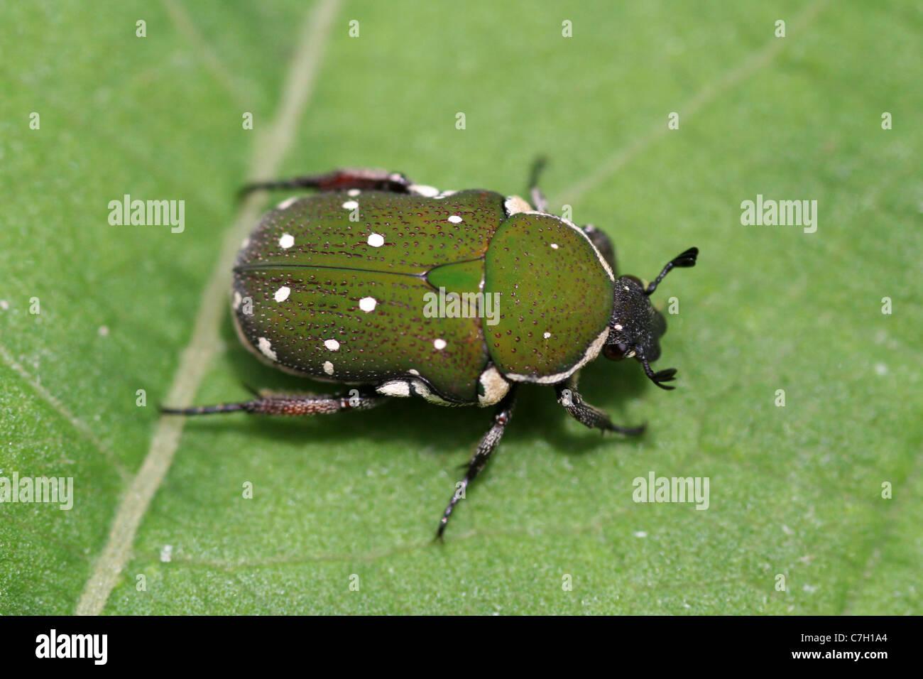 Green Chafer Beetle Glycyphana sp. Lake Toba, Sumatra - Stock Image
