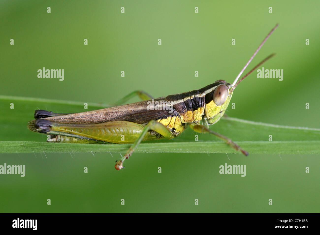 Grasshopper In Sumatra, Indonesia - Stock Image