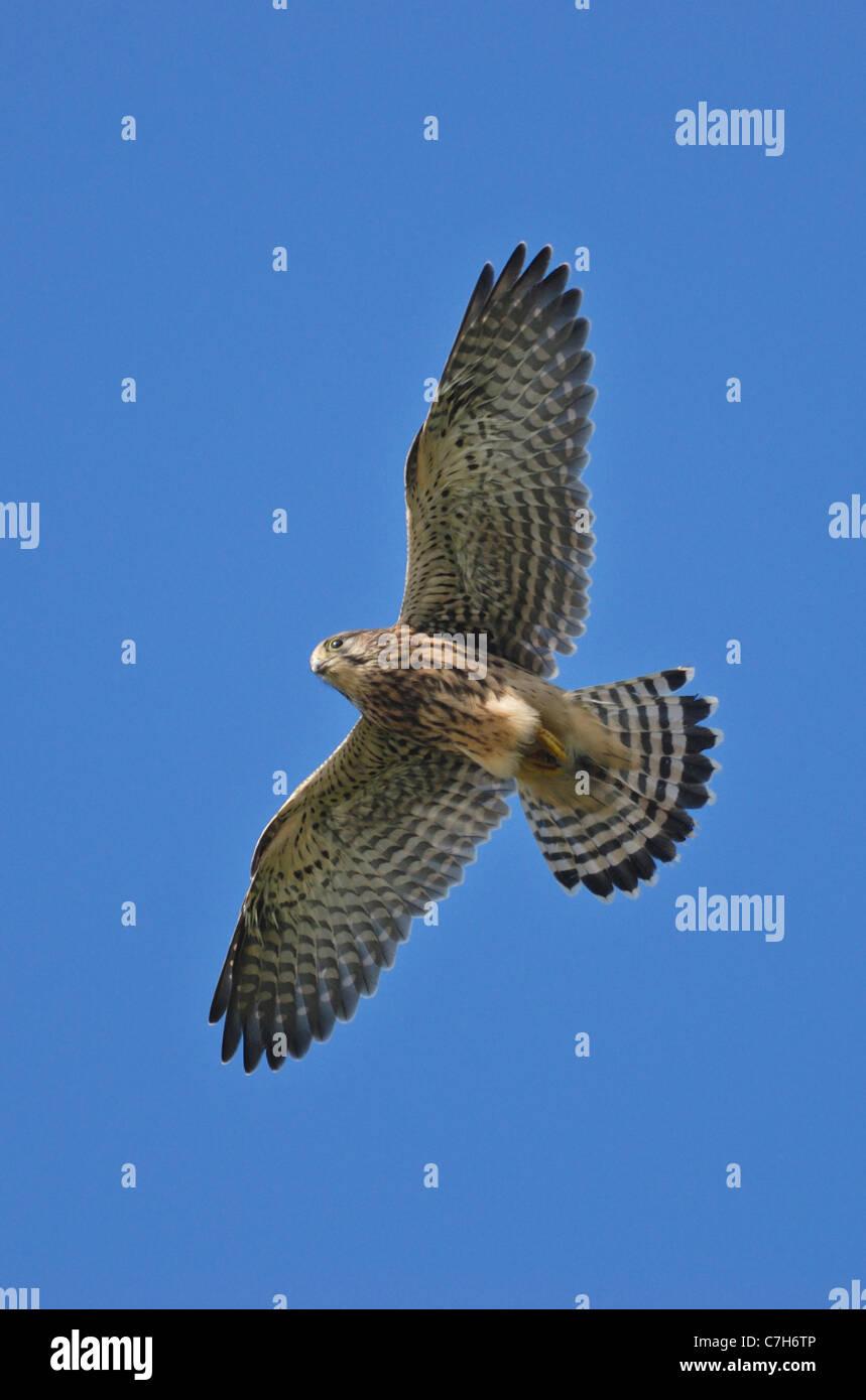Female Kestrel (Falco tinnunculus) flying - Stock Image