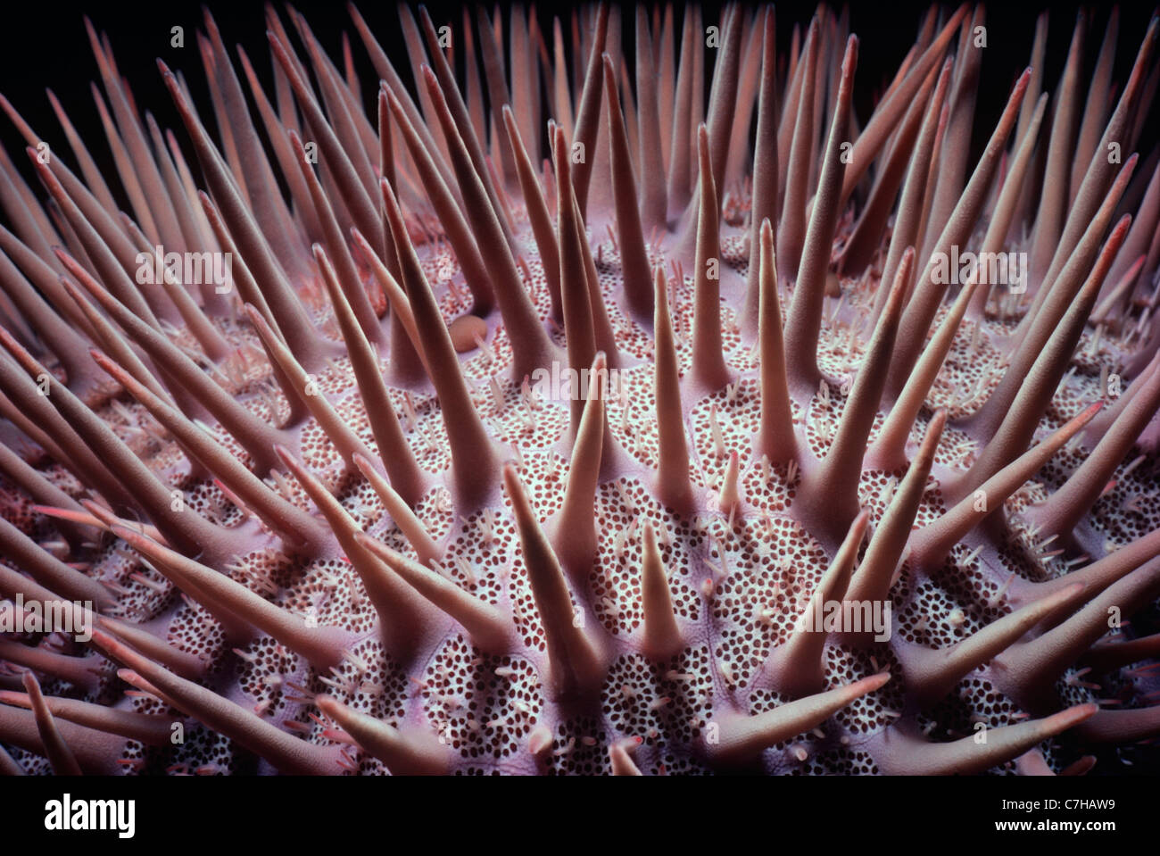 Poisonous Spines of Crown-of-Thorns Starfish (Acanthaster planci). Ras Nasrani, Egypt, Red Sea - Stock Image