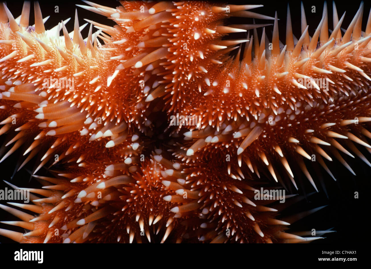 Underside of Comb Star (Astropecten polycanthus) showing its mouth. Egypt, Red Sea - Stock Image