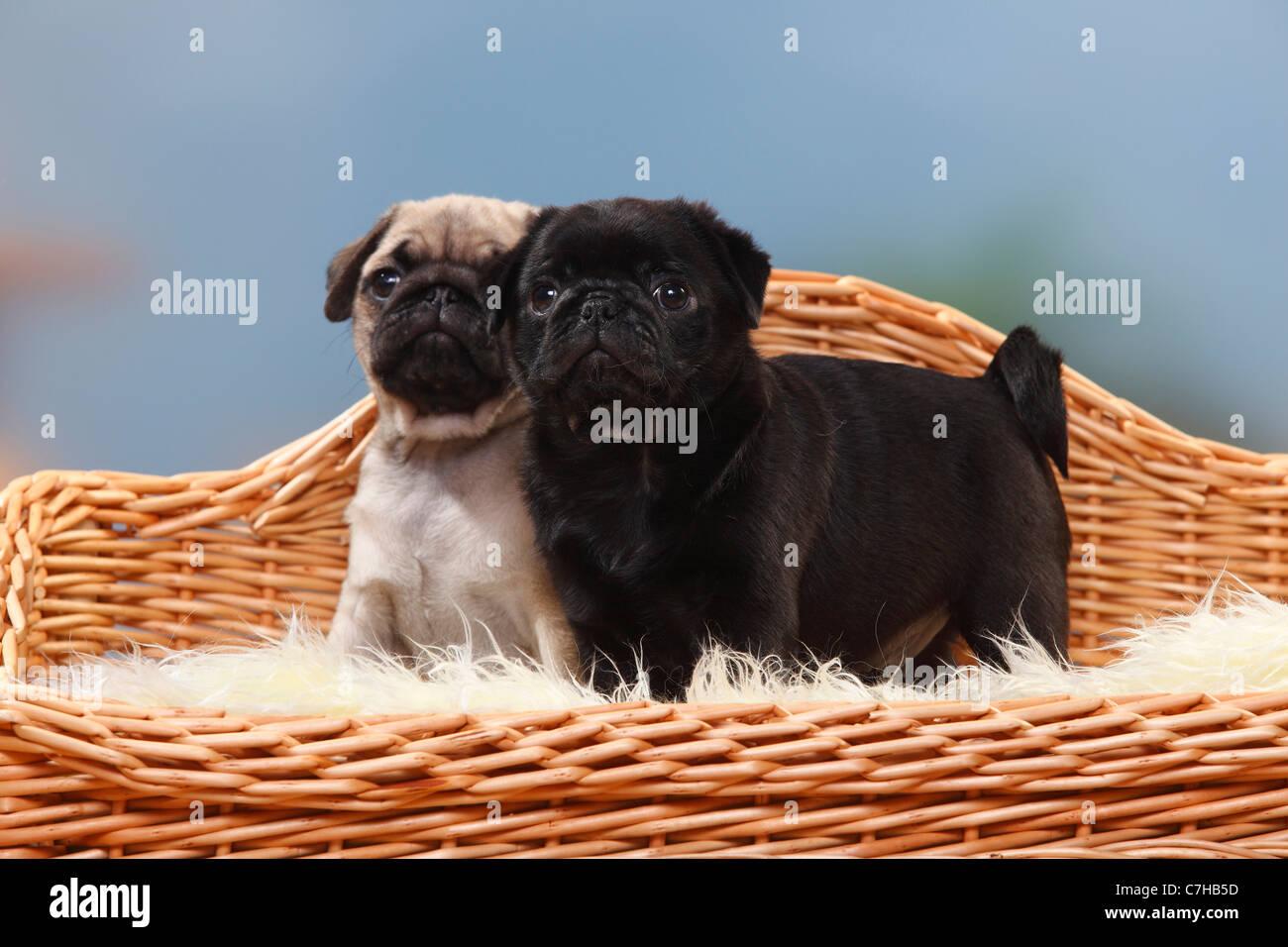 Pugs, puppies, 8 weeks - Stock Image
