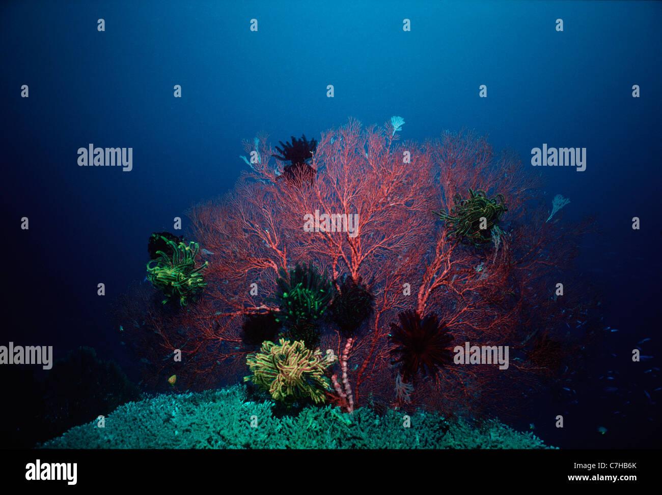 Crinoids on Gorgonian Coral (Melithaea spp.). Papua New Guinea - Bismarck Sea - Stock Image