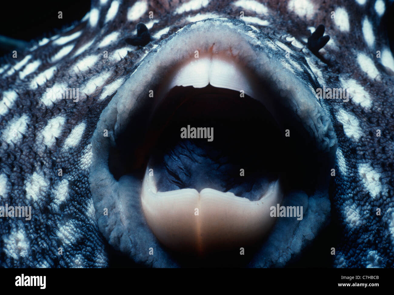 Guineafowl Pufferfish (Arothron meleagris), Cocos Island, Costa Rica - Pacific Ocean Stock Photo
