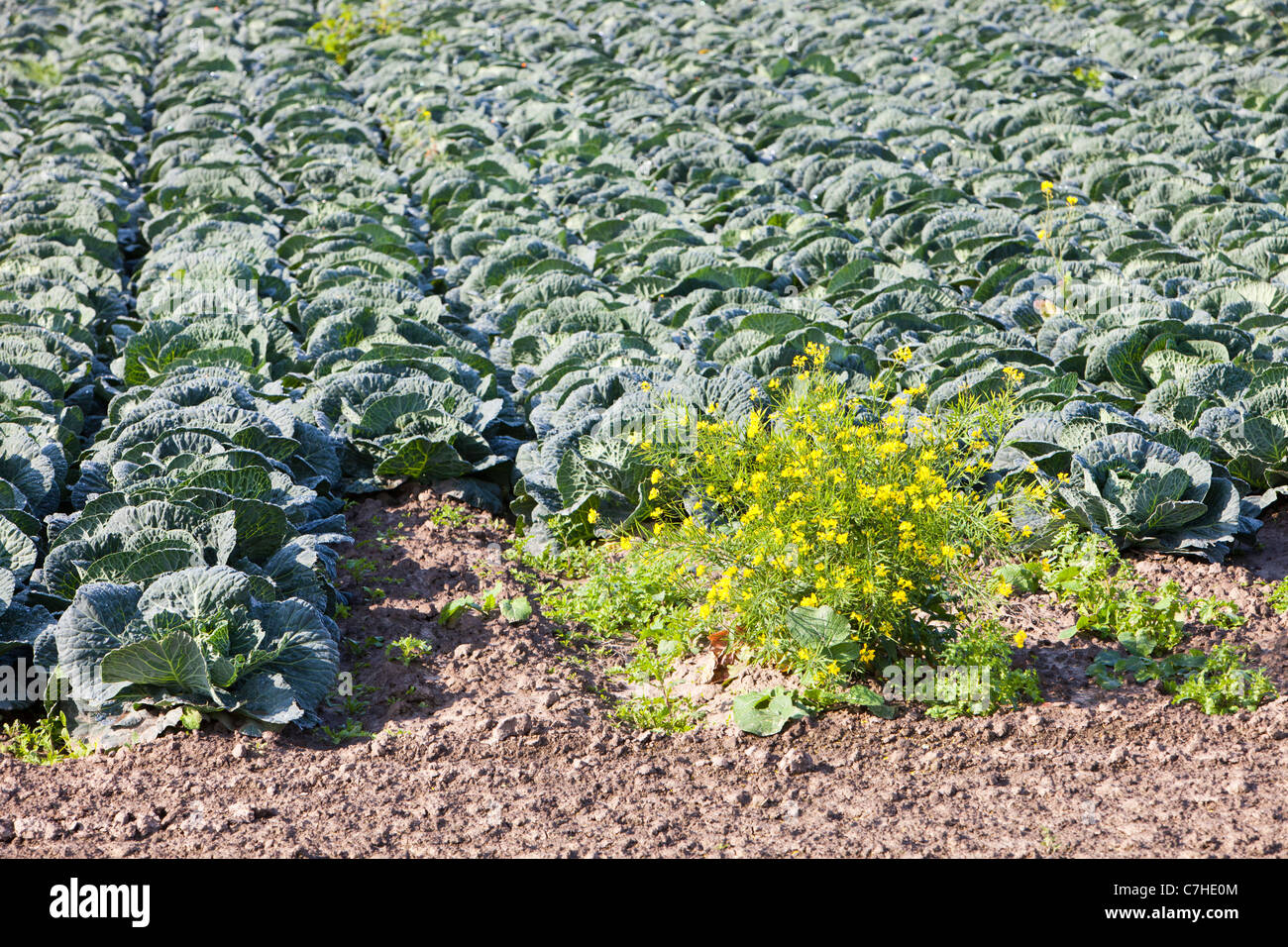 Cabbage growing on a farm on the Lancashire mosslands near Banks on the outskirts of Southport, Lancashire, UK. - Stock Image