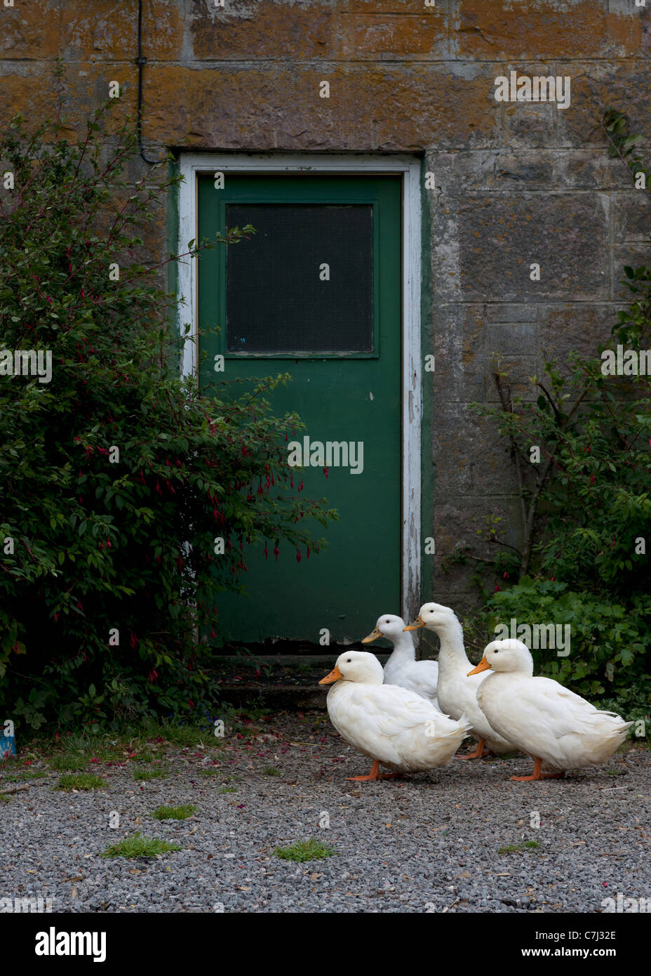 Geese waiting at the back door. - Stock Image
